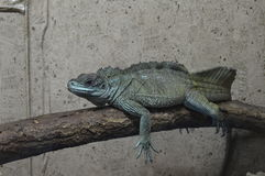 Iguana en una rama Imagen de archivo