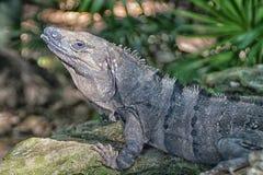 Iguana en una roca foto de archivo libre de regalías