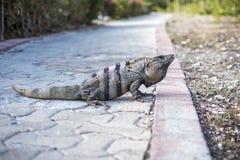 Iguana en una trayectoria en México Foto de archivo