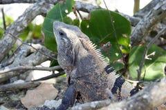 Iguana en verdes Foto de archivo libre de regalías