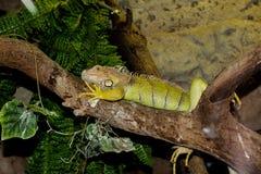 A iguana encontra-se em um tronco de árvore Foto de Stock