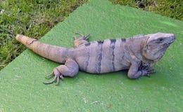 Iguana, encontrando-se em uma rocha Imagens de Stock Royalty Free