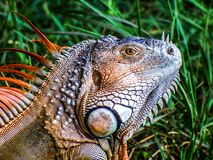 Iguana, a latter-day dinosaur,  enjoying the local nature park. Iguanas are not native to South Florida; but now that they are here, their population is stock photography