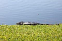 Iguana enorme che si espone al sole Immagini Stock Libere da Diritti