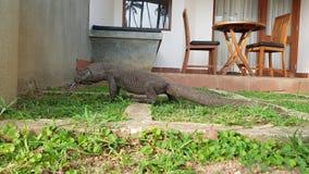 Iguana entered the hotel stock photos