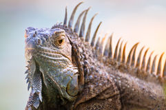 Iguana with erect spikes on the crest Stock Images