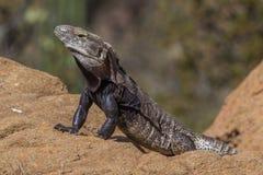 iguana Espinoso-atada Imagen de archivo libre de regalías