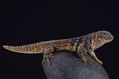 Iguana espinoso-atada n del ¡de Yucatà (defensor de Ctenosaura) imágenes de archivo libres de regalías