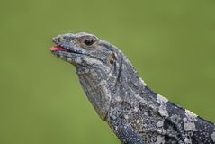 Iguana Espinoso-atada negro - similis de Ctenosaura imagenes de archivo