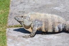 Iguana Espinoso-atada salvaje, iguana negra, o ctenosaur negro Fondo de la hierba verde Maya de Riviera, Cancun, México imágenes de archivo libres de regalías