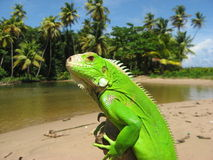 Iguana Estuary. An Iguana in the sun. He is out in the open where all predators can be seen, overlooking a beautiful estuary where the river comes to the sea Royalty Free Stock Photos