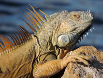 Iguana. This exotic Iguana sits along side a canal in Ft. Lauderdale, Florida stock image