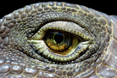 Iguana eye Stock Images