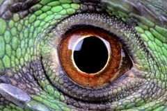Iguana eye. Closeup of the eye of a green Iguana royalty free stock images