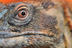 Iguana eye closeup Stock Image