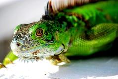 Iguana eye. Green iguana stares down the lens Stock Image