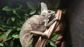A iguana fá-lo! Imagens de Stock