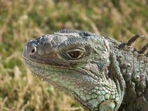 Iguana face Stock Image