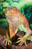 Iguana face. Tropical exotic reptile Iguana on green background Royalty Free Stock Photography