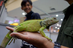 Iguana. Fan community gathered at a shopping mall in Karanganyar, Central Java, Indonesia royalty free stock images
