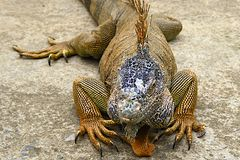 Iguana on a farm in Honduras, Caribbean Stock Images