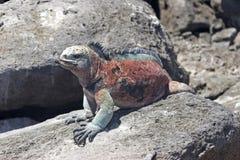 Iguana on Floriana island stock photo