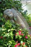 Iguana in Flowers. Close shot of an iguana amongst flowering vines stock image