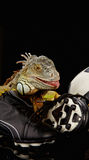 Iguana in football concept Royalty Free Stock Photo