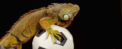 Iguana in football concept Royalty Free Stock Photography