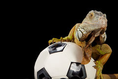 Iguana in football concept Stock Images