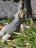 Iguana in the forest Royalty Free Stock Photos
