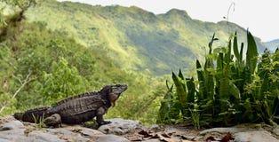 Iguana in the forest. Cuban rock iguana. Cyclura nubila, also known as the Cuban ground iguana Stock Photos