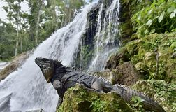 Iguana in the forest beside a water fall. Cuban rock iguana Cyclura nubila, also known as the Cuban ground iguana Stock Image