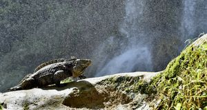 Iguana in the forest beside a water fall. Cuban rock iguana Cyclura nubila, also known as the Cuban ground iguana Royalty Free Stock Photos
