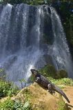 Iguana in the forest beside a water fall. Cuban rock iguana Cyclura nubila, also known as the Cuban ground iguana Royalty Free Stock Photo