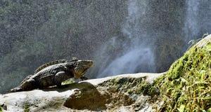 Iguana in the forest beside a water fall. Cuban rock iguana Cyclura nubila, also known as the Cuban ground iguana Stock Photo