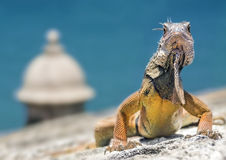 Iguana on a Fortress Royalty Free Stock Images