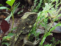 Iguana. Found next to a Peruvian beach town Royalty Free Stock Images