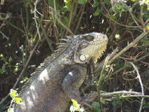 Iguana. Found next to a Peruvian beach town Stock Photos