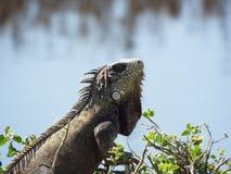 Iguana. Found next to a Peruvian beach town Stock Photo
