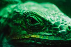 An iguana in front of a dark background. It is a very green one royalty free stock image