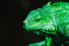 An iguana in front of a dark background. It is a very green one stock photos