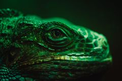 An iguana in front of a dark background. It is a very green one stock photography