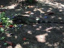 iguana głodna Obrazy Royalty Free