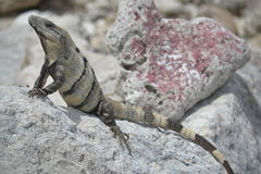 Iguana gadów dzicy egzotyczni zwrotniki Meksyk Zdjęcia Royalty Free