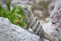 Iguana gadów dzicy egzotyczni zwrotniki Meksyk Zdjęcie Stock