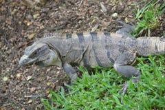 Iguana gadów dzicy egzotyczni zwrotniki Meksyk Obrazy Stock