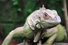 Iguana gada portret Fotografia Stock