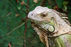 Iguana gada portret Zdjęcia Royalty Free