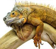 Iguana gada zwierzę Zdjęcia Royalty Free